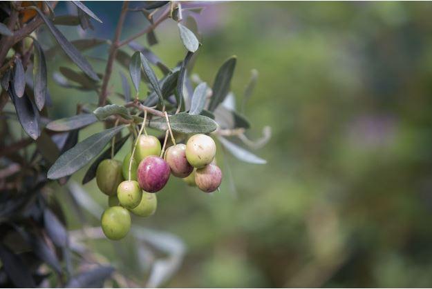 Aceite de oliva denominación Mallorca